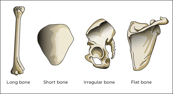 Image Result For What Kind Bones