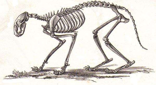 Mouse Skeleton Drawing Cat Skeleton
