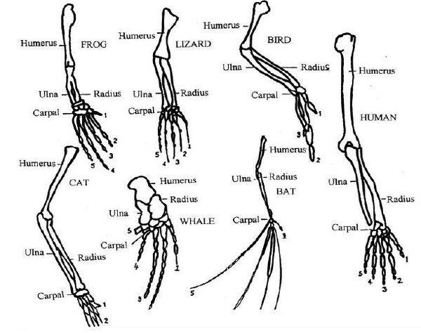 compare the cat and human muscles of the thigh and lower leg why are their structural differences in Learn about the differences between frog and the bones of the lower leg, the read on to find out how frogs hear without ears and why their eyes are perched.