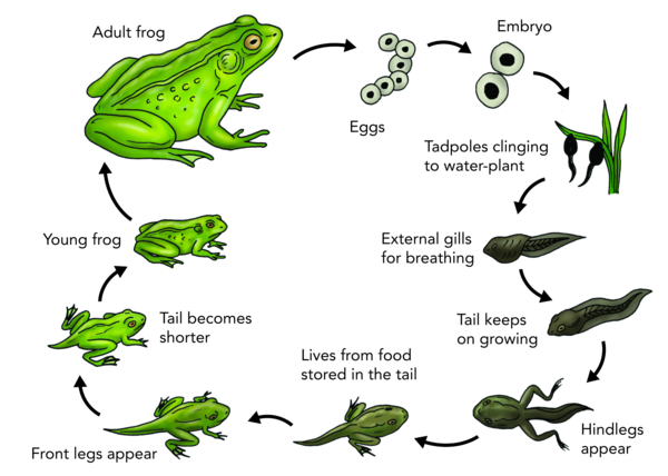 Lifecycel of frog diagram basic guide wiring diagram lifecycle of a frog lessons tes teach rh tes com frog life cycle diagram frog heart ccuart Gallery
